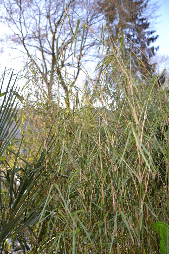 Bambus Im Winter Bambus Wissen
