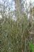 Blattschäden nach Frost - Fargesia murielae Jumbo - Kübelbepflanzung