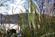 Winter, Blattschäden, Fargesia murielae Jumbo