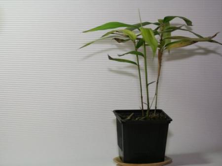 Phyllostachys pubescens Moso Jungpflanze