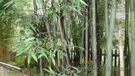 Phyllostachys nigra Boryana – Deutscher Name Wolkenfetzenbambus Phyllostachys nigra 'Boryana' ist ein Bambus, der beachtliche Höhen erreichen kann. In der Regel ragen seine Halme sechs bis neun Meter empor. An […]