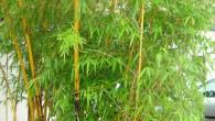 Phyllostachys vivax 'Aureocaulis' Wuchshöhe: 10 bis 12 Meter Halm: bis zu 9 cm Durchmesser (an guten Standorten), junge Sprossen sind essbar. Winterhärte: -18 bis – 20 Grad Celsius Blätter: grün, […]