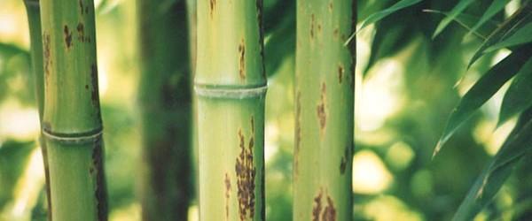 Der größte bisher gemessene Bambus erreichte rund 40 Meter Höhe. Jetzt haben chinesische Biologen im Südwesten ihres Landes einen neuen Rekord nachgewiesen: Ihren Angaben zufolge wuchs ein Bambus auf 46 […]