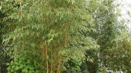 Phyllostachys ist eine Gattung der Bambusse mit zur Zeit 76 beschriebenen Arten. Botanischer Name: Phyllostachys / Flachrohrbambus Unter den 76 Arten gibt es ware Riesen. So erreichen einige Arten von […]