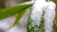 Bei Bambussen in Kübeln sollte die folgenden Punkte beachtet werden: Auswahl der geeigneten Bambussorte in Bezug auf Winterhärte, Wuchshöhe usw. Kübelgröße Standort des Kübels (Sonne, Himmelsausrichtung) Überwinterungsmöglichkeiten Ausgepflanzte Bambuspflanzen im […]