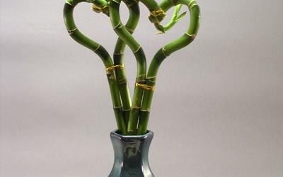 Der Name trügt: Der Glücksbambus ist in Wirklichkeit kein Bambus.