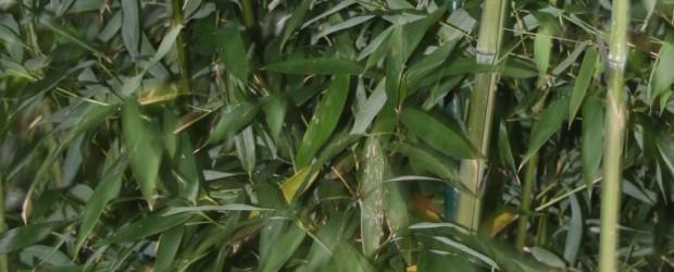 Phyllostachys aureosulcata Alata Synonym: Pekinensis oder auch Grüner Peking Bambus Wuchshöhe: 4,00 bis 6,00 Meter Halme: rau, olivgrün, bis 3 cm Durchmesser Blätter: grün, bis 10 cm lang Wuchs: aufrecht, […]