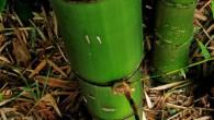 """Das Wissen um die einzigartigen Materialeigenschaften von Bambus ist nicht sehr verbreitet. Fragen rund um die Stabilität und Eigenschaften von Bambuspflanzen werden im Bionik Workshop für Kinder """"Vom Biegen und […]"""
