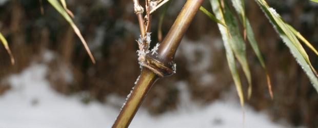 Allgemeines: Die Winterhärte von Bambuspflanzen ist abhängig von der Bambussorte und kann bis zu -30° C betragen. Die meisten Phyllostachyssorten und Fargesiensorten zeichnen sich durch eine besonders hohe Winterhärte aus. […]