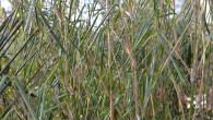 Bei vielen Anbietern (Baumärkte usw.) stammen Pflanzen und Bambusse aus der Massenproduktion. Die Pflanzen werden in klimatisierten Gewächshäusern unter für den Wuchs optimierten Bedingungen produziert und sehen im Frühjahr entsprechend […]
