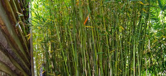 Fargesia robusta campbell ist eine horstartig wachsende Fargesia Sorte die eine Wuchshöhe von 4 Meter erreichen kann.