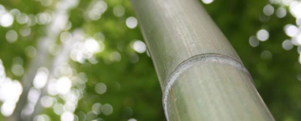 Phyllostachys atrovaginata Synonym: Schwarzer Knospen Bambus Ein Bambus mit relativ dicken und senkrecht wachsenden Halmen. Phyllostachys atrovaginata wurde im Jahr 2011 zum Bambus des Jahres gewählt. Wuchshöhe: 4 bis 7 […]