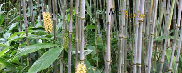 Triarrhena lutarioriparia – Wuchshöhe: 5 bis 7 Meter Halmfarbe: grün, teilweise lia ausfärbend Winterhärte: -19 Grad Celsius Etablierte Pflanzen erreichen abhängig von Standort und Bodenqualität eine Höhe von 5 bis […]