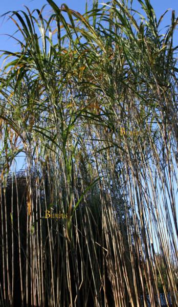 Triarrhena lutarioriparia - aus China - Wuchshöhe bis 7 Meter